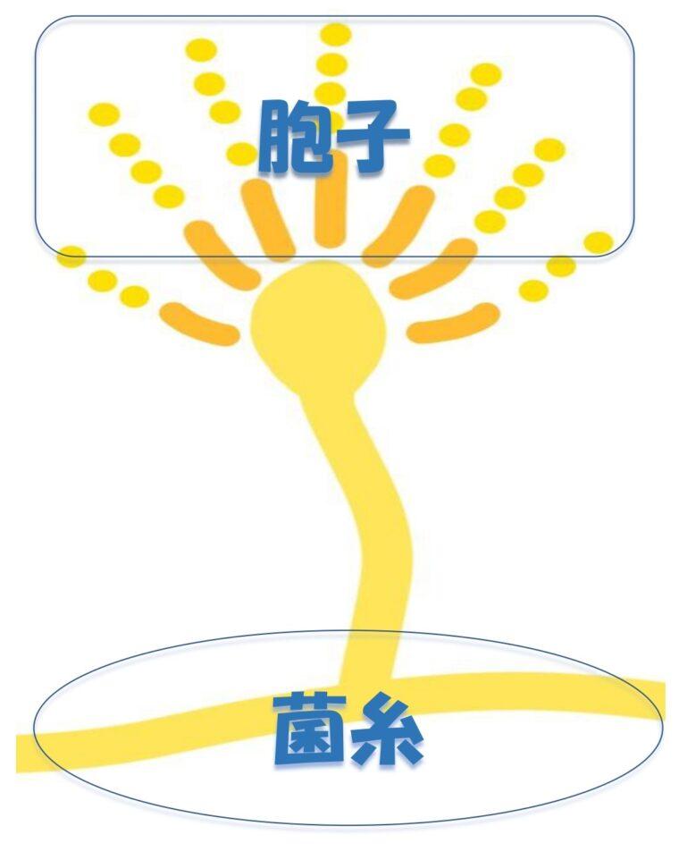 麹菌の菌糸・胞子のイメージ